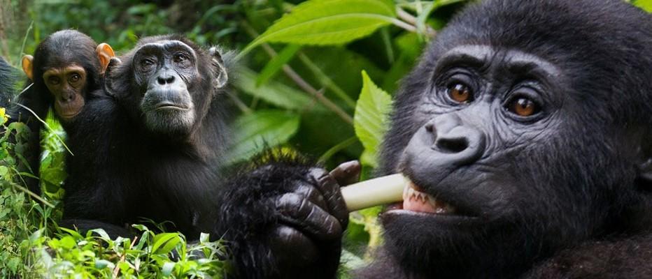Приключенческий тур  Уганда, Руанда, Конго AFRIKAПриключенческий тур<br><br><br>Регион: Африка и острова Индийского океана<br>Страна: Уганда<br>Дата начала: 2018-03-30<br>Дата окончания: 2018-04-14<br>Количество человек: 1<br>С гидом: Да